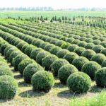 Bukszpan-wybór sadzonek