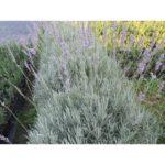Lawenda 'Grappenhall'- opis, uprawa, wymagania