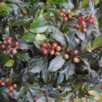 Żywopłot liściasty- najlepsze 7 roślin na liściasty żywopłot