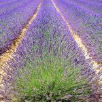 Plantacja lawendy- dochodowy biznes? jak założyć?