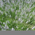 Lawenda 'Provence'- gigantyczna odmiana