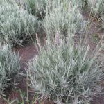 3 odmiany lawendy o najbardziej srebrzystych liściach