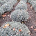 Przygotowania sadzonek lawendy do zimy