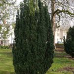 Żywopłot z cisa pospolitego- sadzenie, cięcie, pielęgnacja