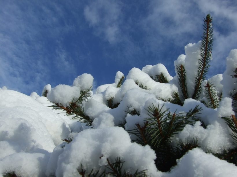 zimowanie iglaków