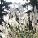 Zimowanie miskantów- jak chronić te piękne trawy?