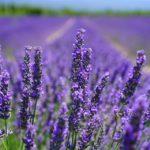 4 odmiany lawendy o ciemnofioletowych kwiatach