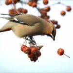 Żywopłot z owocami dla ptaków- pożyteczny i ozdobny