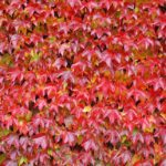 Żywopłot z pnączy- 3 najodporniejsze gatunki, sadzenie, pielęgnacja