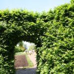 Żywopłot z grabu- jak sadzić, przycinać i nawozić?