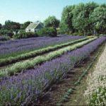 Mała Prowansja w ogrodzie- czy uprawa lawendy jest trudna?