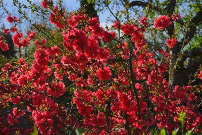 kwiaty pigwowca japońskiego