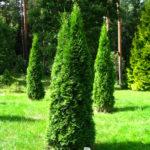 Tuja 'Smaragd' (thuja, żywotnik zachodni)- uprawa i charakterystyka