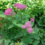 Żywopłot z tawuły japońskiej- kolorowe, kwitnące, naturalne ogrodzenie