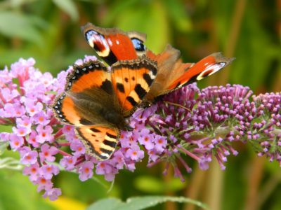 motyle, pożyteczne owady
