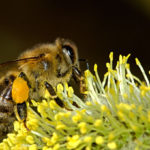 Jak przyciągnąć pszczoły i inne pożyteczne owady do ogrodu?