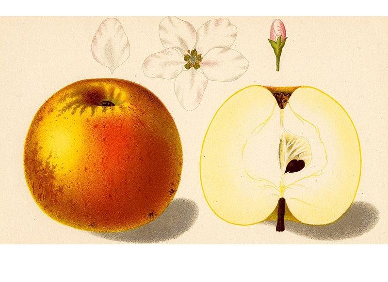 jabłoń złota reneta