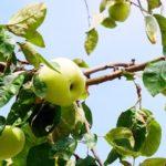 Zapomniana i niedoceniana jabłoń Kosztela