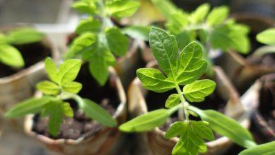 hartowanie roślin