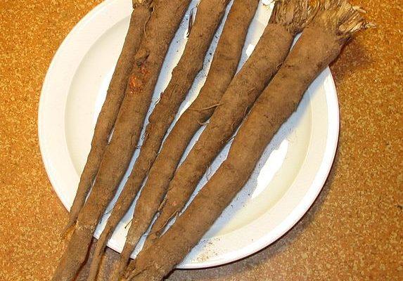 korzeń skorzonery