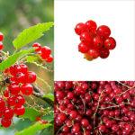 Krzewy owocowe w ogrodzie- smaczne owoce prosto z krzaka.