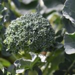 Brokuł – uprawa, termin siewu i sadzenia, nawożenie