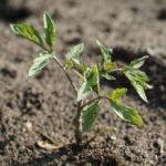 Warzywa uprawiane z rozsady- gatunki, termin siewu i sadzenia, opis