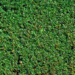 Żywopłot iglasty- 5 najlepszych iglaków na żywopłot